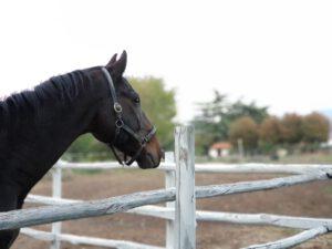 Un cavallo della FATTORIA BARBINI